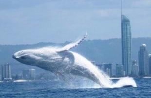 Australia, avvistata una rarissima balena bianca