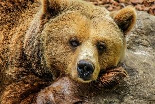 Russia: direttore di uno zoo porta con sé a votare al referendum sulla Costituzione una giovane orsa