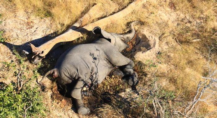 Moria di elefanti si estende nello Zimbabwe
