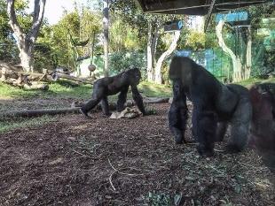 California, positivi due gorilla dello zoo di San Diego