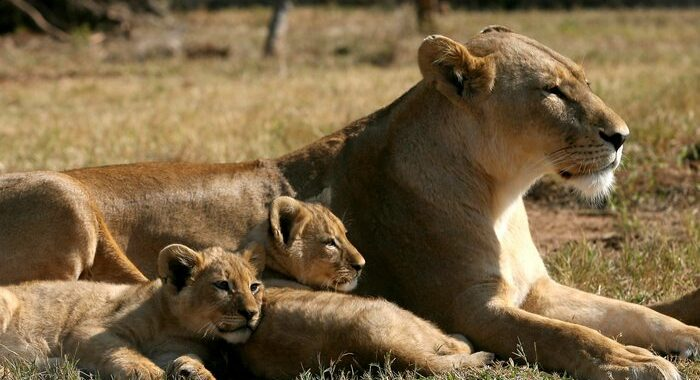 Sudafrica vieta di allevare leoni per la caccia